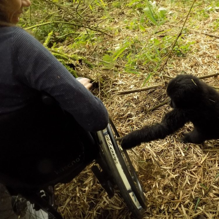 Gorilla touching Susie's wheelchair