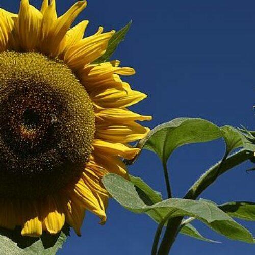 The Hidden Disabilities Sunflower lanyard scheme helping people with hidden disabilities
