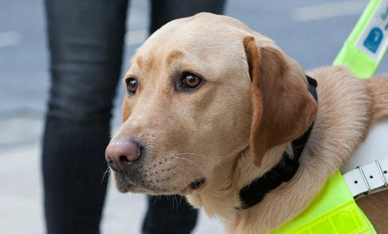 Golden Labrador Assistance Dog