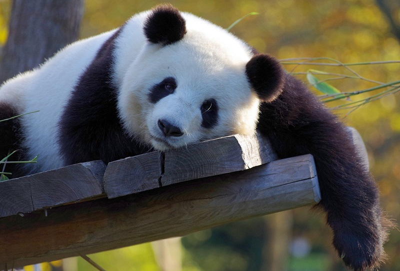 Panda lying on planks of wood