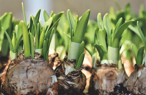 Bulbs in spring just sprouting in spring