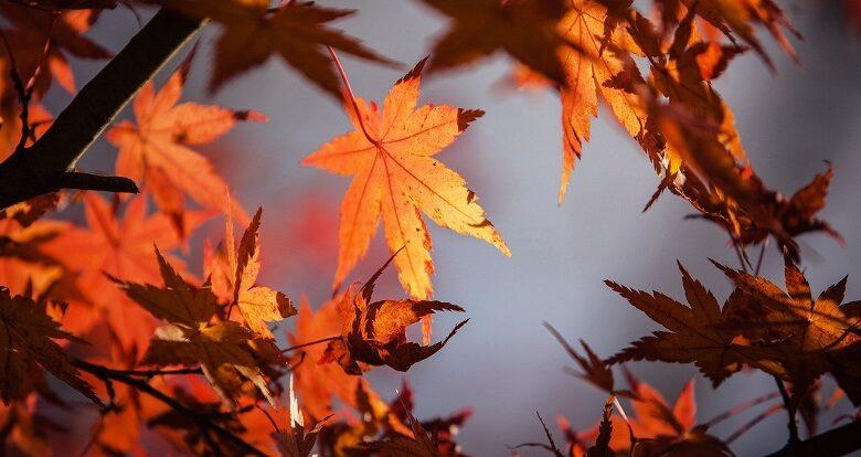 Orange autumn leaves viewed from below against a pale grey sky
