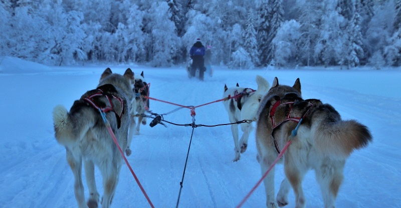 View of four husky dogs sledding through the snow towards snow-covered trees